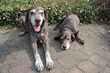 senior pointer sisters, german shorthaired pointers