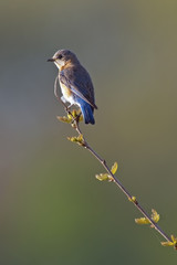 Eastern Bluebird Female