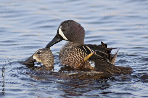 Mating Blue-winged Teals
