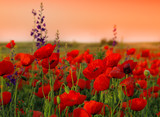 Fototapety Field of poppies on a sunset