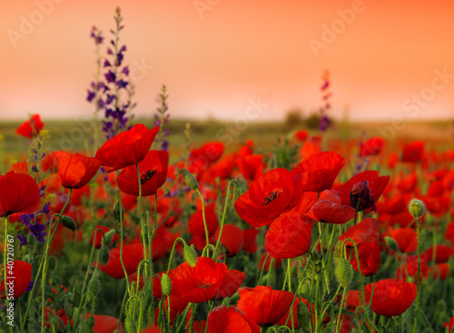 Foto op Canvas Poppy Field of poppies on a sunset