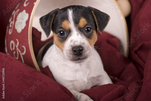 6 Week Old Jack Russell Puppy