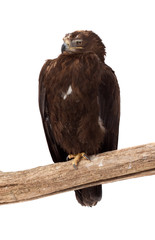 Tawny eagle.  Isolated over white