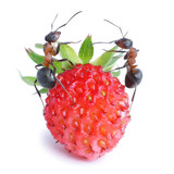ants and strawberry