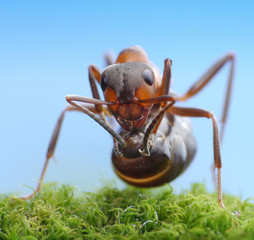 soldier ant ready to shoot with acid