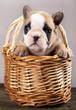 French bulldogs, puppy