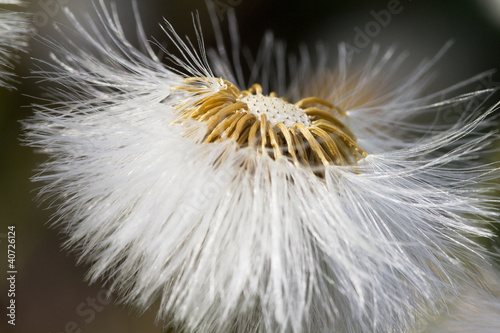dandelion flower  in sunlight
