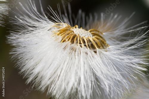 dandelion flower  in sunlight