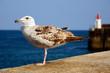 Closeup juvenile herring gull (Larus argentatus)