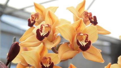 Yellow orange orchids
