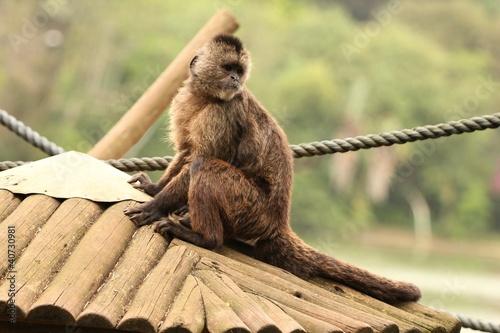 Macaco caiarara