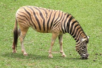 Zebra de perfil