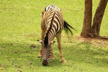 Zebra comendo grama