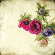anemoni lilla - texuture