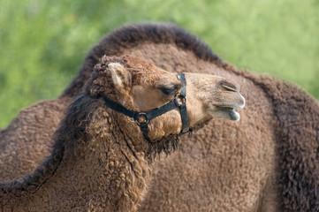 Cammello africano (dromedario) - camelide