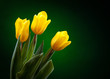yellow tulip on dark green background