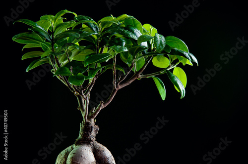 Fotobehang Bonsai Close-up of ficus retusa with decorative roots, black background