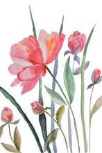 Fleurs 芍药