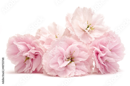 Papiers peints Cerises pink flowers on white