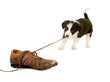 canvas print picture - Puppy pulling shoe lace