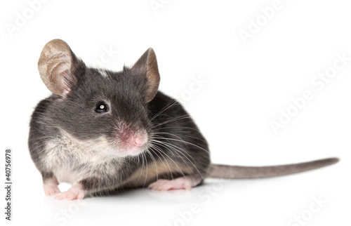 Mouse posing on a white background (Shallow DOF)