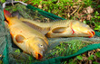 The common carp in fish net.