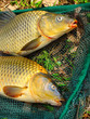 The common carp in fish net.