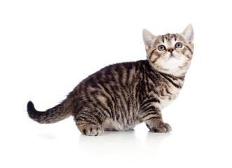 British kitten looking upward