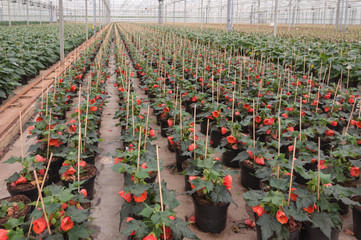 Rows of flowering Abutilon plants