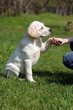 labrador puppy giving paw to girl's hand