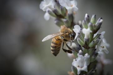Honey Bee in a small purple flower