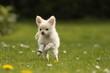 Chihuahua springt
