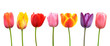 Multi-colored tulips in a row; pink, yellow, red, orange, purple