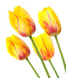 Yellow tulips with red stripes in a bunch of four