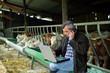 Livestock of cows