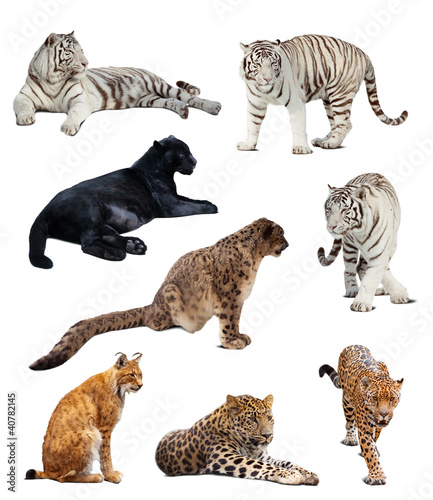 big wildcats. Isolated  over white