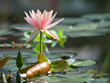 Pale pink water lily after rain