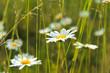 kleine Magerite im Gras