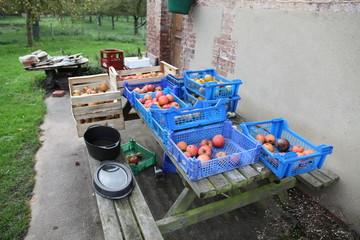 pommes du marais vernier