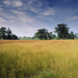 Wheatfield in rural landscape