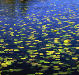 Lily pads floating in still lake