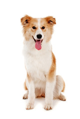 Red dog look in camera on white background