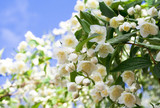 beautiful fresh jasmine flowers