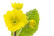 Gelbe Primel (Primula) mit Blatt, Nahaufnahme