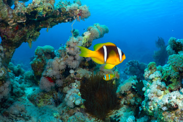 Clownfish in the Red Sea, Egypt.