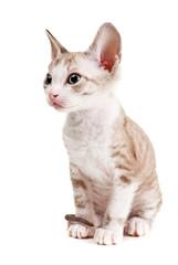 Little kitten isolated on the white background