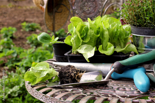 Salatsetzlinge, salad seedlings