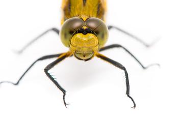 Orthetrum cancellatum. Female Black-tailed Skimmer dragonfly on