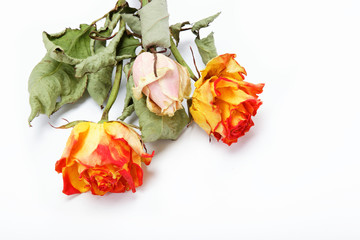 Dried roses on a white background.
