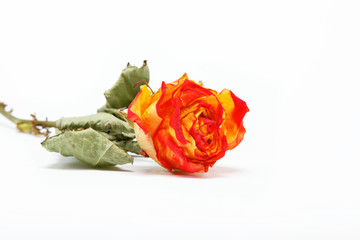 Dry roses on a white background.